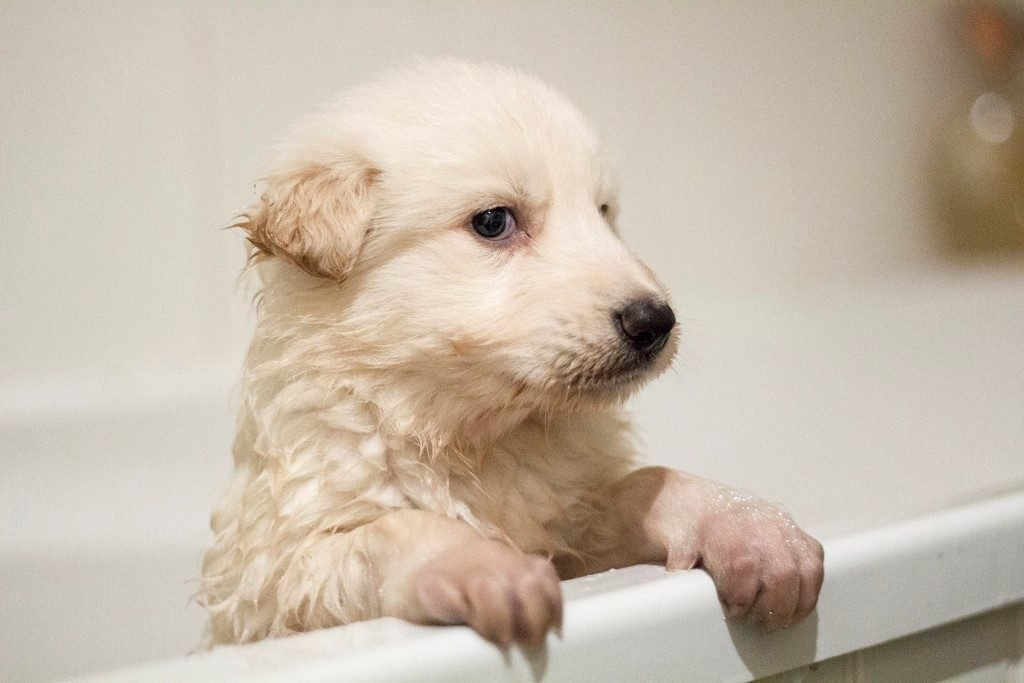 when and how to bathe a puppy