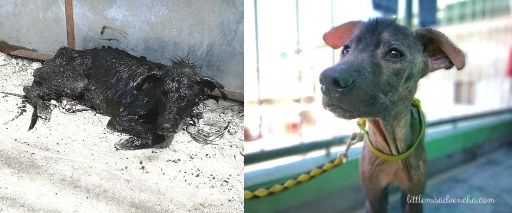 rescue of dog dying from mange